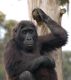 gorilla-web