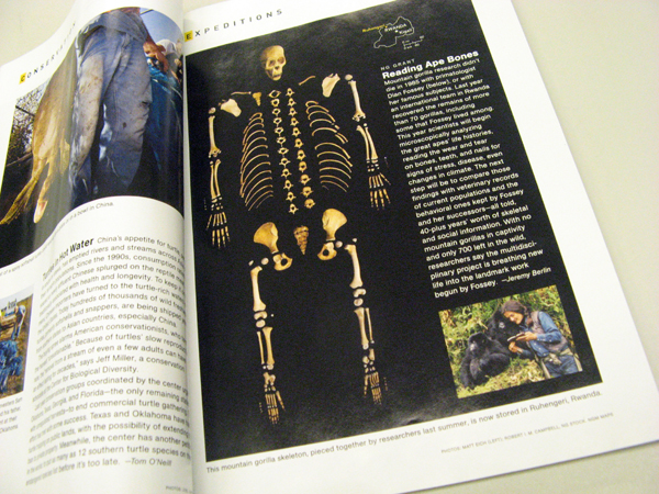 Eriksen arranged gorilla bones into a skeleton shape to illustrate this story in the March 2009 issue of National Geographic.