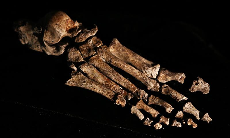 The foot of Homo naledi (photo by John Hawks)